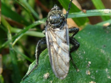 Empis ciliata Zwarte Dansvlieg