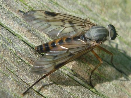 Rhagio scolopaceus Gewone Snipvlieg