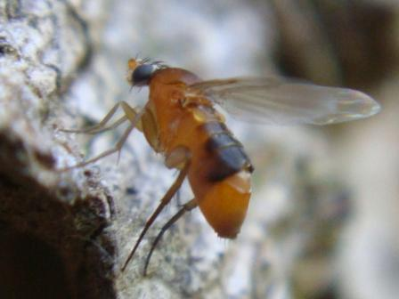 Phalacrotophora spec.