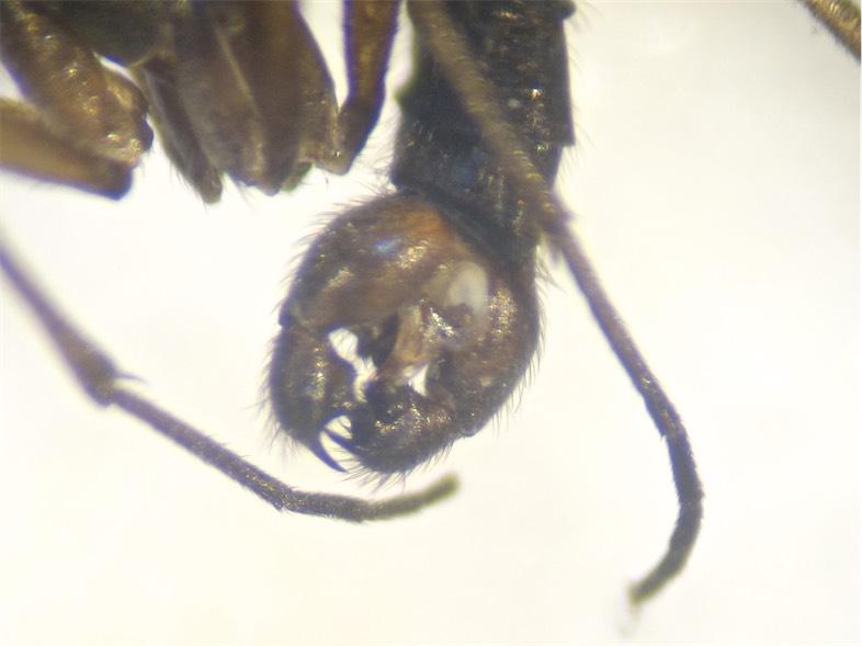 Sciara humeralis