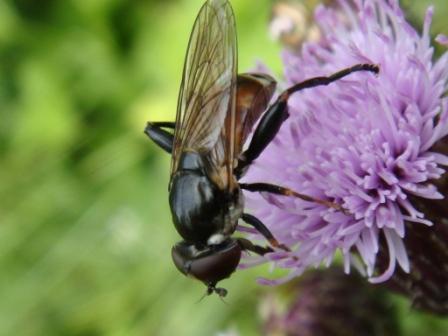 Tropidia scita Moeraszweefvlieg
