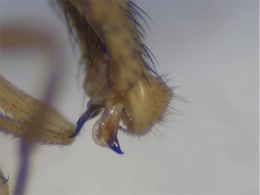 Minettia plumicornis