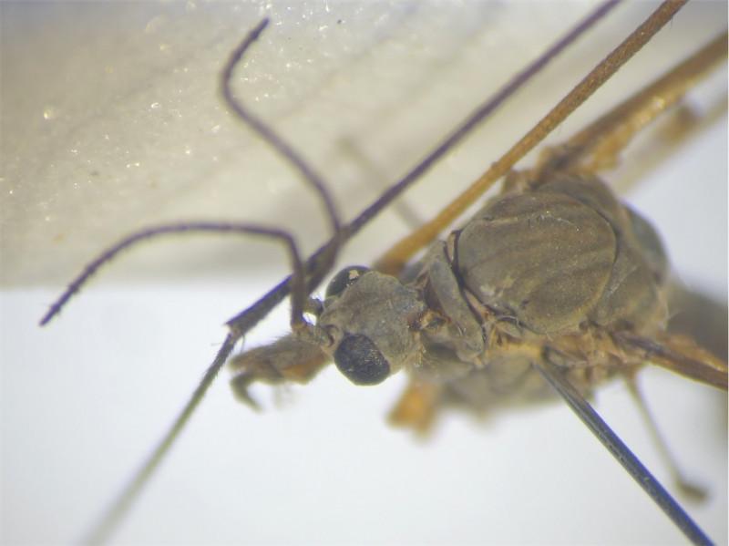 Tipula couckei
