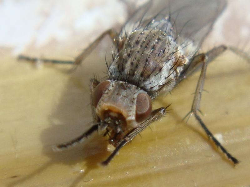 Fucellia fucorum(f)