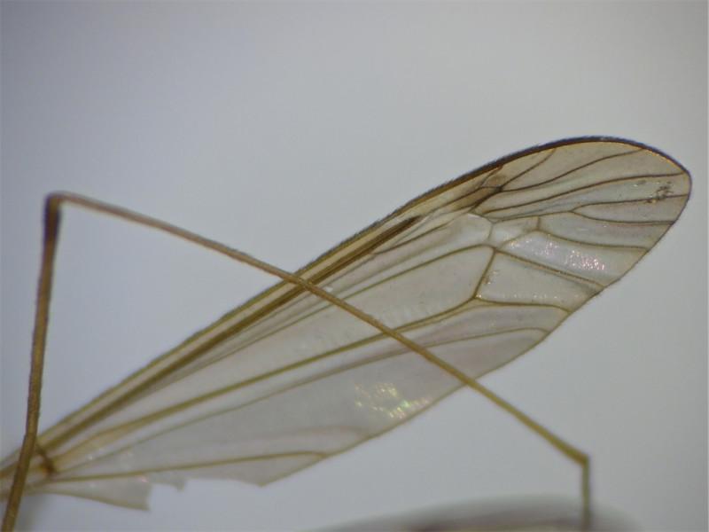 Tipula helvola