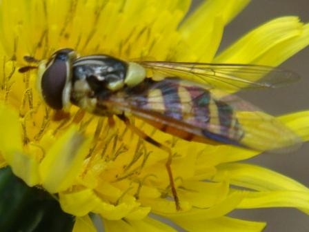 Dasysyrphus albostriatus Bretel-wimperzweefvlieg(f)