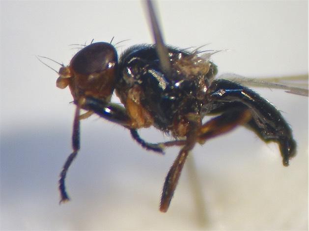 Parapiophila vulgaris