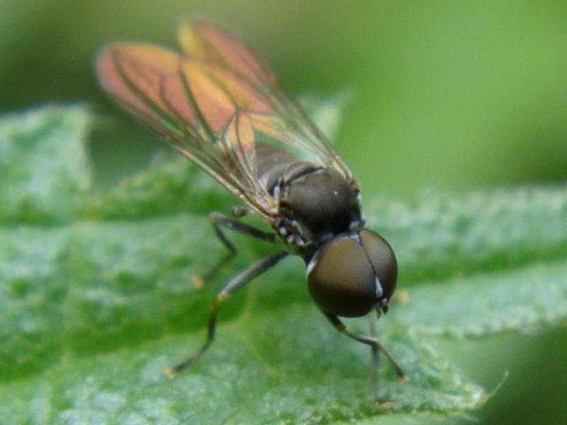 Pipunculidae indet.