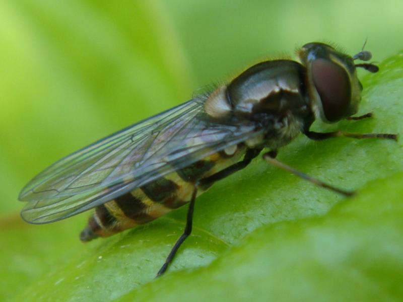 Parasyrphus punctulatus Gevlekt Roetneusje