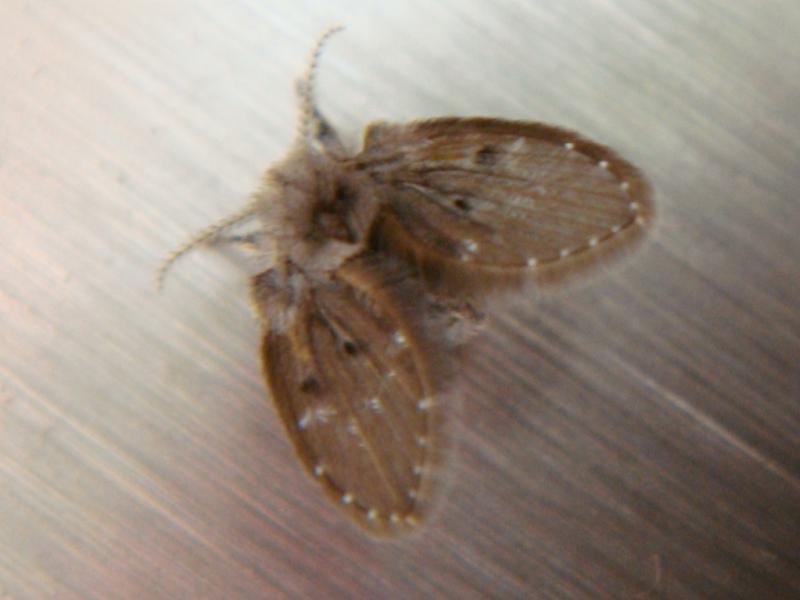 Clogmia albipunctata