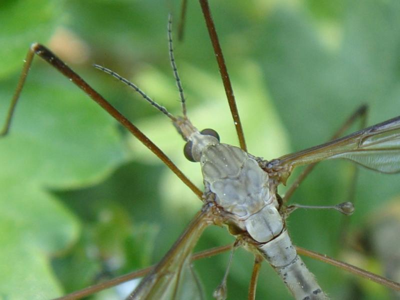 Tipula oleracea(f)