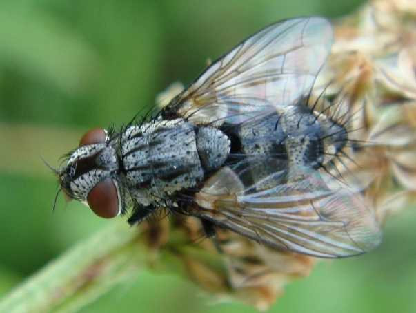 Tachinidae indet.