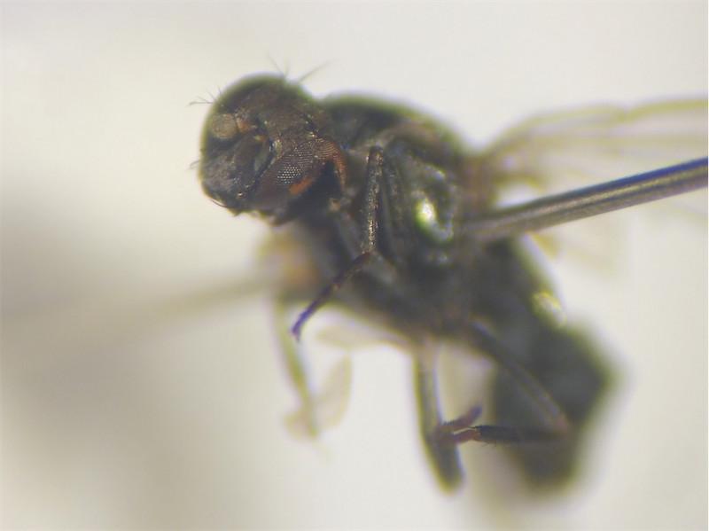 Gymnoclasiopa nigerrima