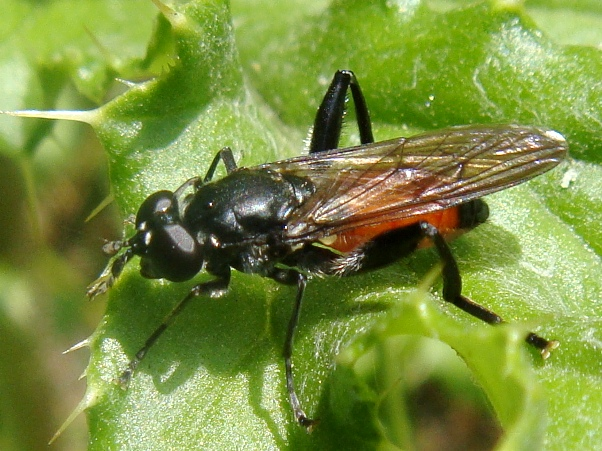 Brachypalpoides lentus Bloedrode bladloper(f)