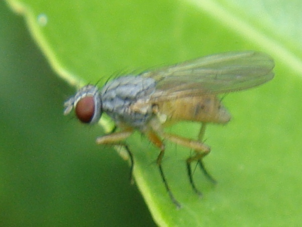 Coenosia mollicula(f)