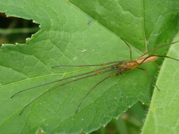 cf. Tetragnatha montana Schaduwstrekspin