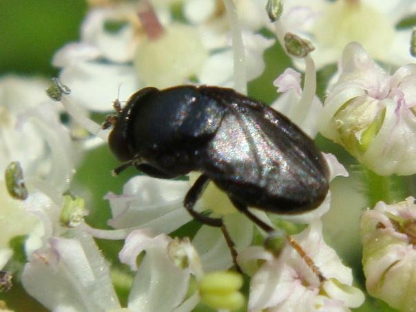 Discomyza incurva