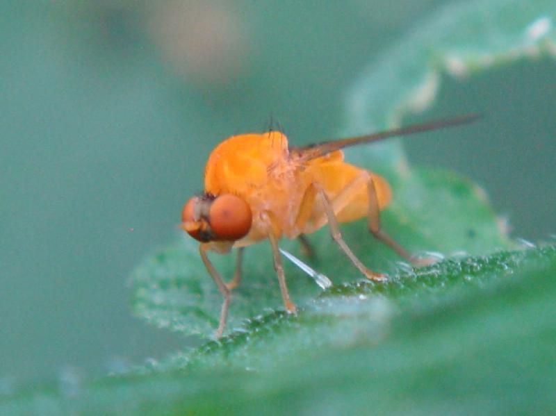 Agathomyia wanckowiczii