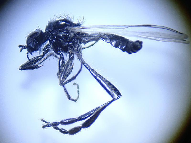 Bibio longipes(m)