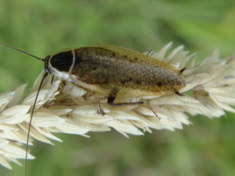 Ectobius sylvestris (m)