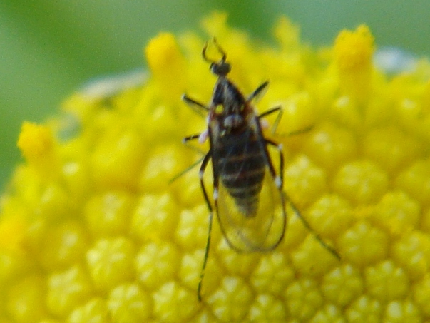Ozirhincus tanaceti Boerenwormzaadgalmug