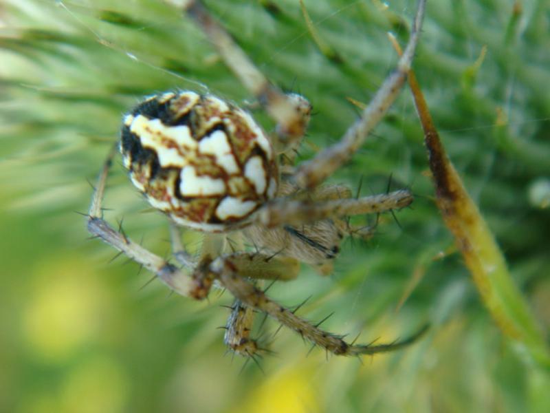 Neoscoma adianta Heidewielwebspin