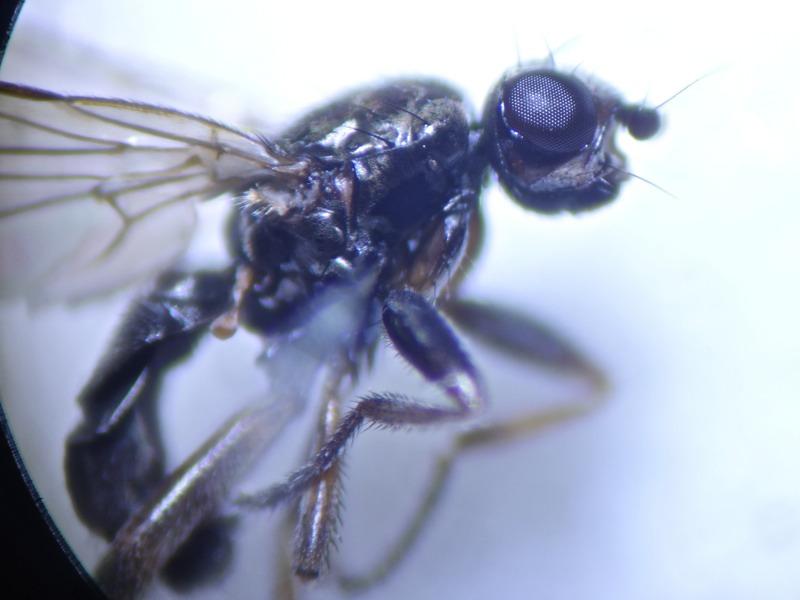 Copromyza nigrina