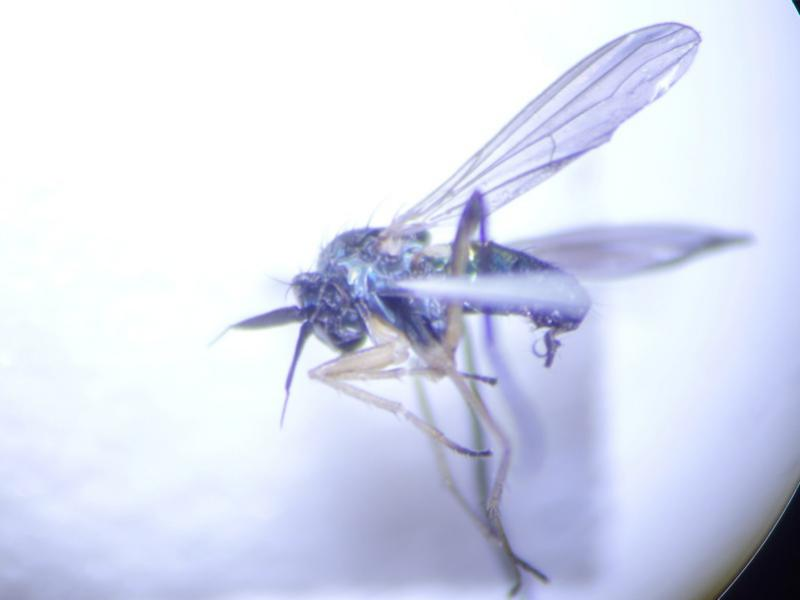 Rhaphium monotrichum