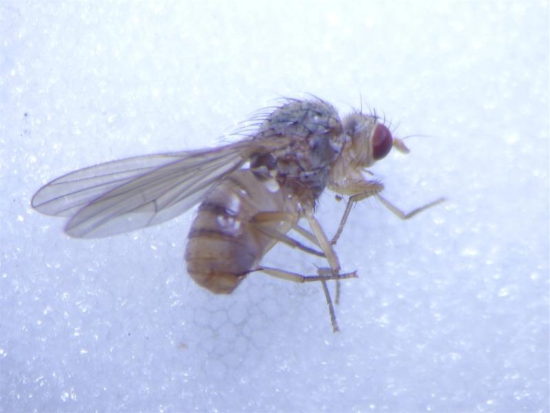 Pseudolyciella pallidiventris