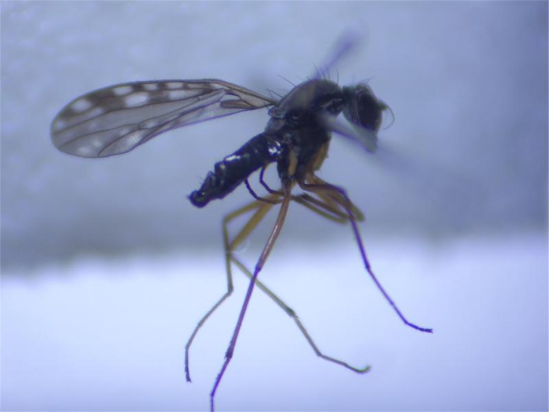 Dolichocephala irrorata