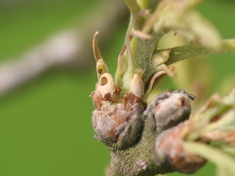 Andricus lignicolus fm (Hartig, 1840) fm