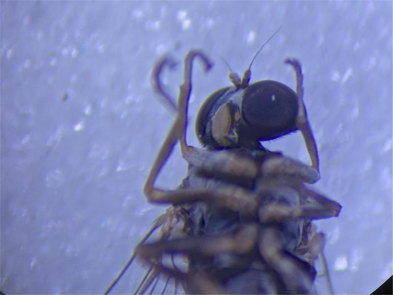 Lindneromyia hungarica