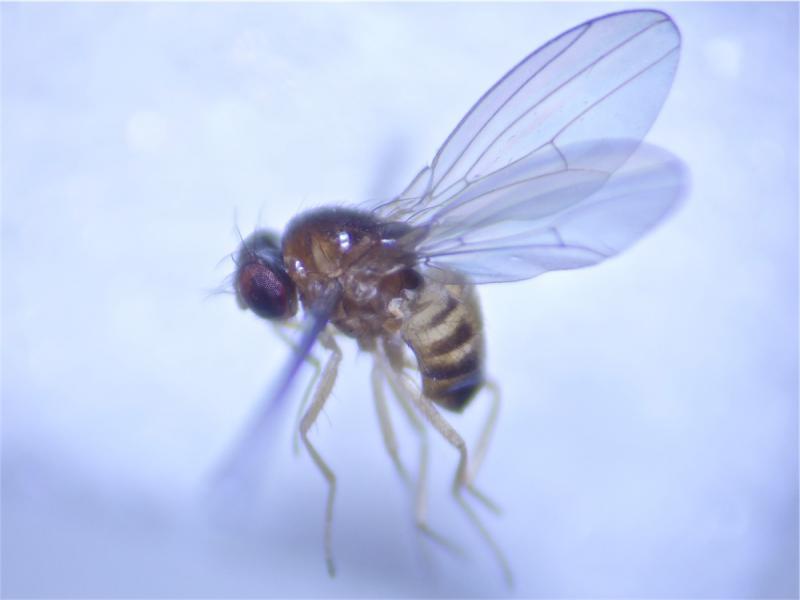 Drosophila testacea