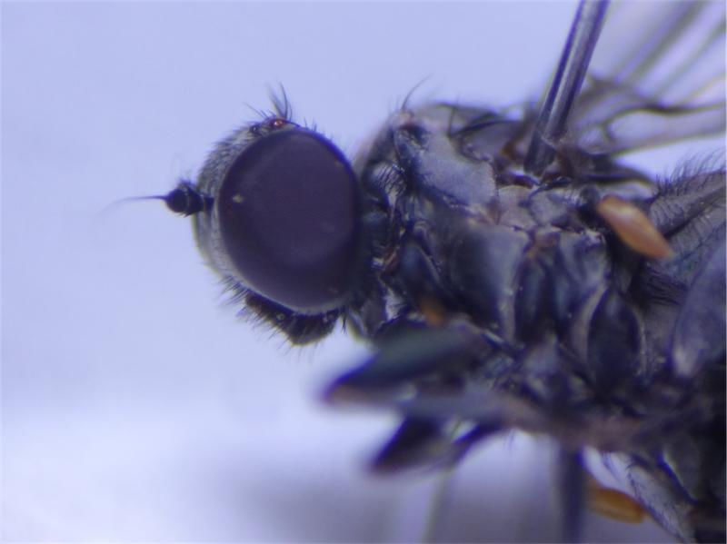 Paraplatypeza hirticeps