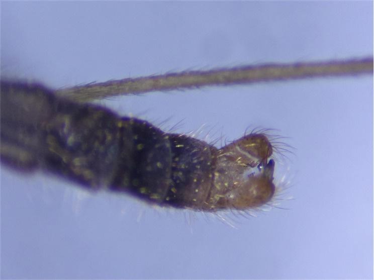 Erioptera lutea