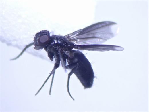 Melanophora roralis(f)