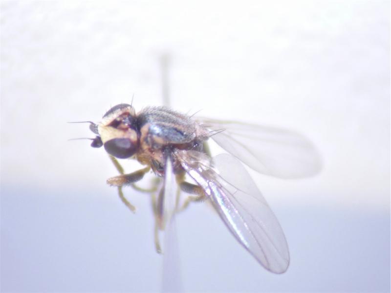 Lasiosina albipila