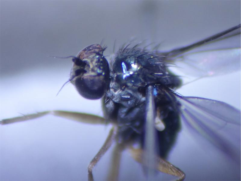 Gymnopternus celer
