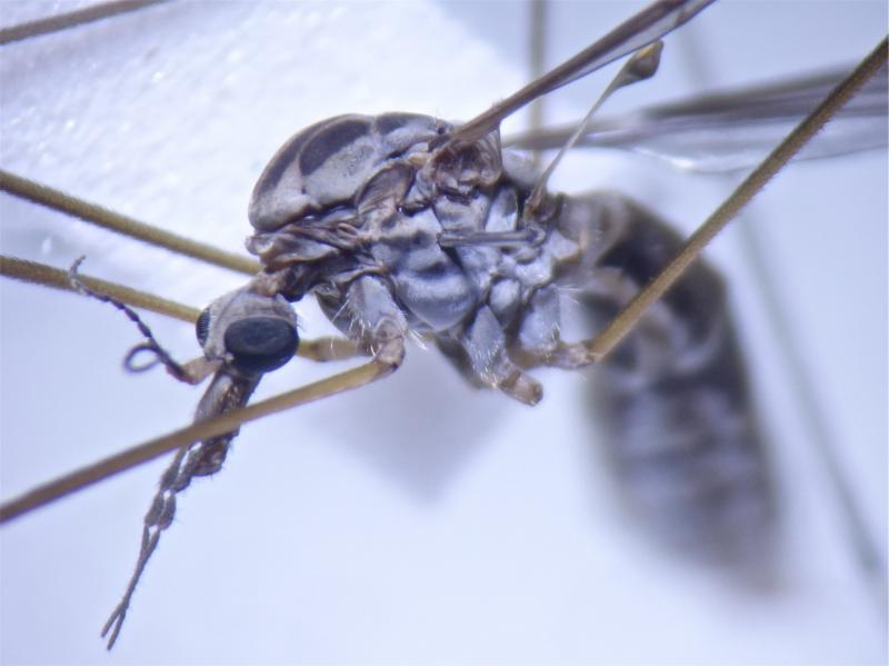 Tipula confusa