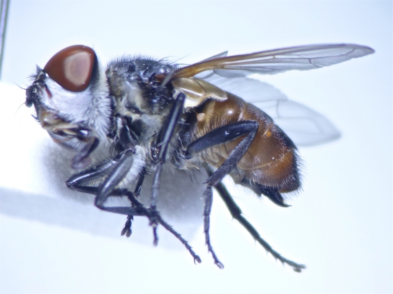 Phasia aurigera