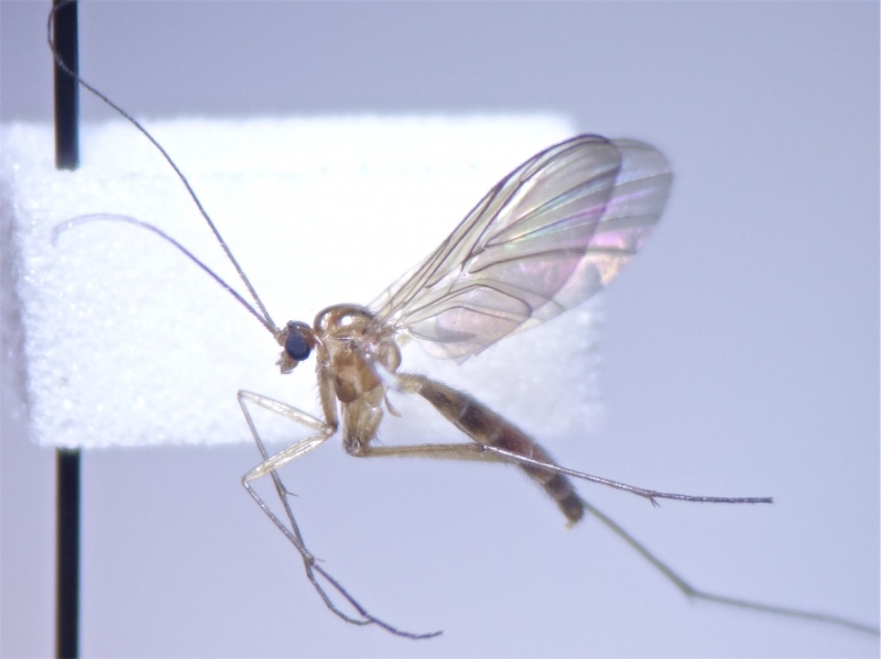 Keroplatidae