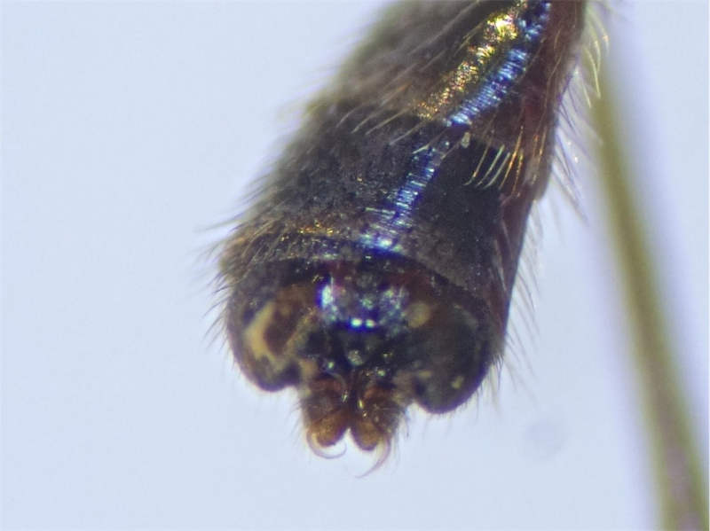 Sylvicola fuscatus