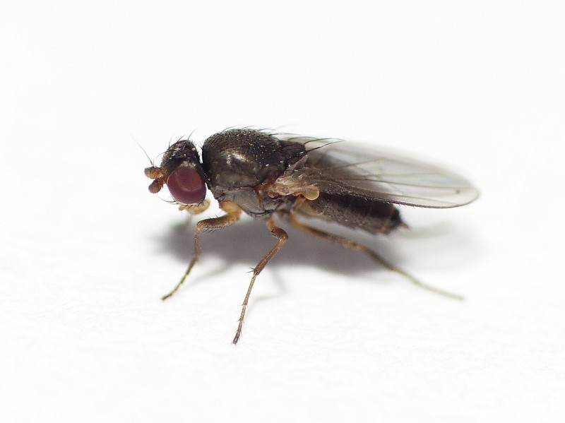 Chiropteromyza broersi